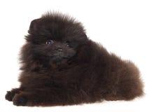 Black Pomeranian puppy on white background. Cute black Pom Pomeranian puppy, on white background royalty free stock photos