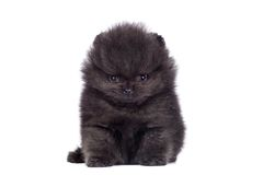 Black Pomeranian puppy on white Royalty Free Stock Photo