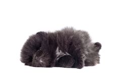 Black Pomeranian puppy on white Royalty Free Stock Images
