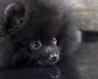 Black Pomeranian spitz Royalty Free Stock Photo