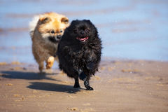 Black pomeranian spitz dog running on the beach Stock Photography