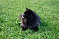 Black pomeranian spitz outdoors. Black pomeranian spitz on the grass stock image