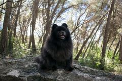 Black pomeranian spitz outdoors. Black fluffy cute pomeranian spitz stock photos