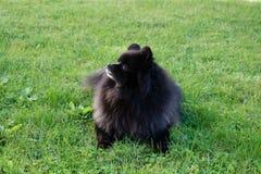Black pomeranian spitz outdoors. Black fluffy cute pomeranian spitz on the grass royalty free stock images