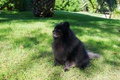 Black pomeranian spitz outdoors. Black fluffy cute pomeranian spitz on the grass royalty free stock image