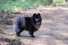 Black pomeranian spitz outdoors. Black fluffy cute pomeranian spitz outdoors stock image