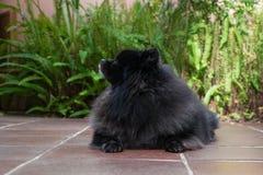 Black pomeranian spitz outdoors. Black pomeranian spitz sit outdoors stock images