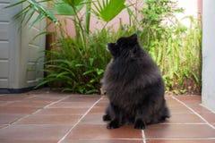 Black pomeranian spitz outdoors. Black pomeranian spitz sit outdoors stock photo