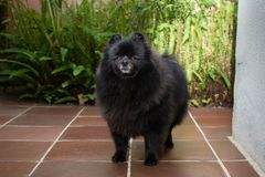 Black pomeranian spitz outdoors. Black fluffy cute pomeranian spitz outdoors royalty free stock photography