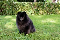 Black pomeranian spitz outdoors. Black pomeranian spitz on the grass royalty free stock image