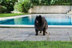 Black pomeranian spitz outdoors. Black pomeranian spitz near the swimming pool stock photo