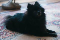 Black Pomeranian Spitz puppy at the floor. Black Pomeranian Spitz puppy lying at the floor royalty free stock image