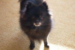 Black Pomeranian Spitz puppy looking at camera. Black Pomeranian Spitz puppy looking at the camera stock photography