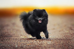 Black Pomeranian Spitz puppy playing Royalty Free Stock Photos