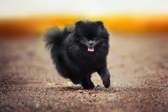 Black Pomeranian Spitz puppy playing. Black Pomeranian Spitz puppy running at the camera royalty free stock photos