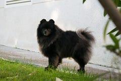 Black pomeranian spitz outdoors. Black pomeranian spitz sit outdoors stock image