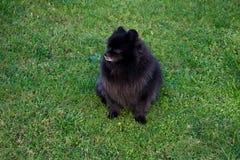 Black pomeranian spitz outdoors. Black pomeranian spitz sits on the grass stock image