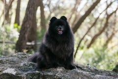 Black pomeranian spitz outdoors. Black pomeranian spitz sits outdoors royalty free stock photos