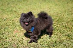 A Black Pomeranian. Walking in the park stock photo