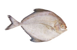 Black pomfret fish isolated Stock Photo