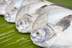 Black pomfret fishes on banana leaf Stock Photos