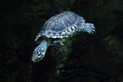 Black pond turtle (Geoclemys hamiltonii) Stock Photo