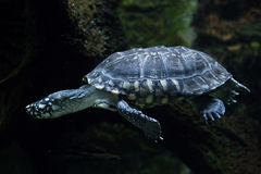 Black pond turtle (Geoclemys hamiltonii). Also known as the Indian spotted turtle. Wildlife animal stock photography