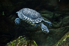 Black pond turtle Geoclemys hamiltonii Stock Images