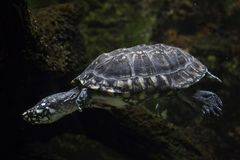 Black pond turtle Geoclemys hamiltonii. Also known as the Indian spotted turtle royalty free stock photo