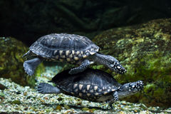 Black pond turtle (Geoclemys hamiltonii) Royalty Free Stock Photo