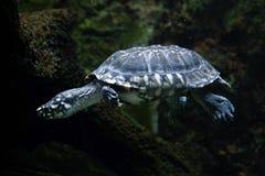 Black pond turtle (Geoclemys hamiltonii) Royalty Free Stock Photos