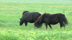 Black ponies grazing in the steppes on the green grass stock footage