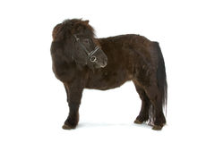 Black pony. Side view of black pony turning head, isolated on white background Royalty Free Stock Images