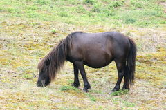 Black pony. A little black pony grazing Royalty Free Stock Images