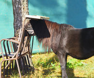 black pony with beautyfull long mane stand next to chairs Royalty Free Stock Photography