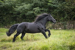 Black pony at gallop Royalty Free Stock Photography