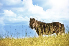 Black Pony horse looking at camera. Pony is a small horse (Equus ferus caballus). Depending on context, a pony may be a horse that is under an approximate or Royalty Free Stock Photography