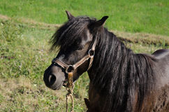 Black pony. Pony horse in nature in mountain ethno village Royalty Free Stock Photography