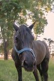 Black pony with its nose towards camera Royalty Free Stock Photos