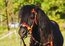 Black pony with a long mane and beautiful red bridle standing on the grass background Stock Photography
