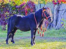 Black pony with a long mane and beautiful red bridle standing on the green grass Stock Photos