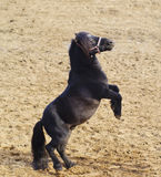 Black pony with long mane stand on the sand Stock Photography
