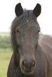 Black pony portrait Stock Photo
