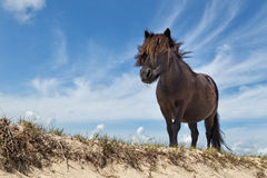Black pony on sand with blue sky Royalty Free Stock Photography