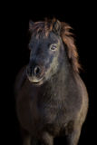 Black pony. Black Shetland pony on black background Stock Image