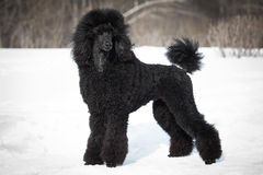 Black Poodle Stock Photos