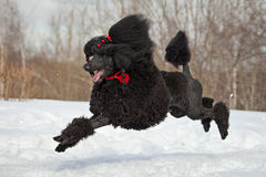 Black Poodle Royalty Free Stock Photo