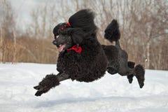 Black Poodle Royalty Free Stock Photo