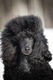 Black Poodle Stock Images