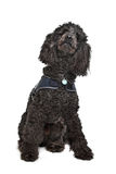 Black Poodle royalty free stock images